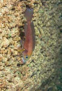 Neolamprologus furcifer