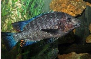 Petrochromis heffalumpus