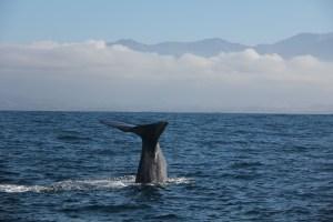 Jours 218 & 219 : On a vu des baleines  à Kaikoura !