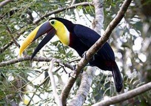 Toucan, jungle colombienne