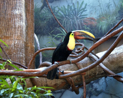 Central Park Zoo Toucan, New York zoo, zoo animals, zoo birds, toucans