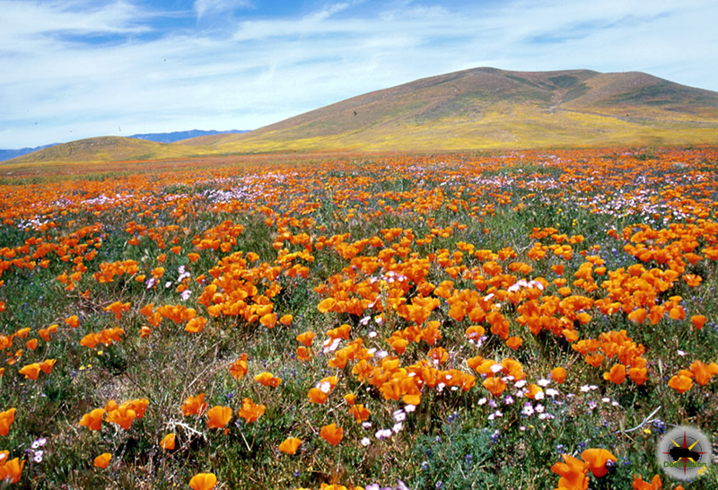 Antelope Valley California Poppy Reserve a work of wild flower art on display.