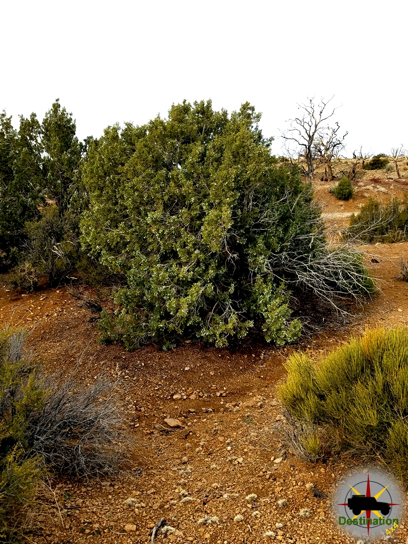 A Juniper bush decorates the Mid Hills Campground in the Mojave National Preserve.