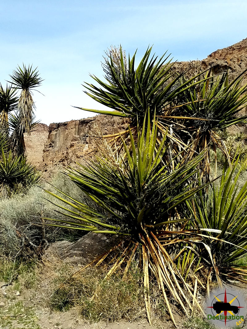 Mojave Yucca guarding the Ring Trail, Mojave National Preserve.