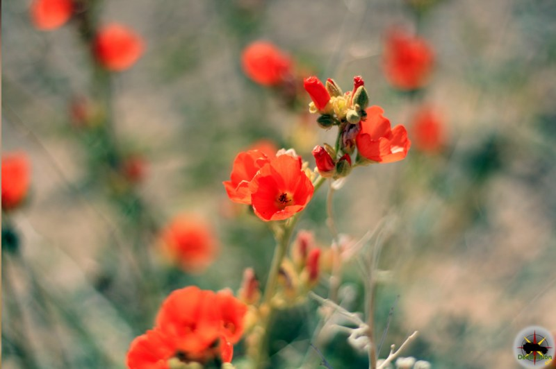 Globemallow growing outside of Las Vegas