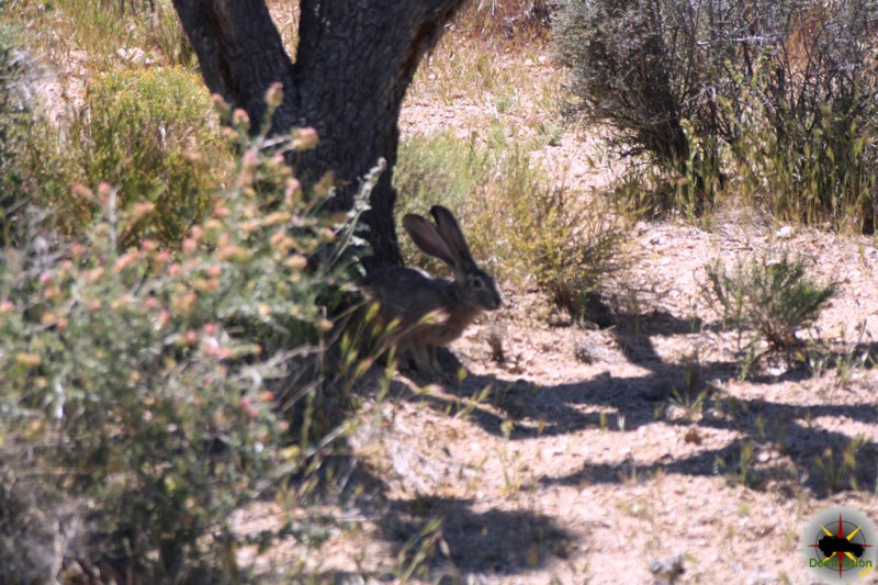 Black Tailed Jackrabbit enjoying the shade of a Joshua Tree