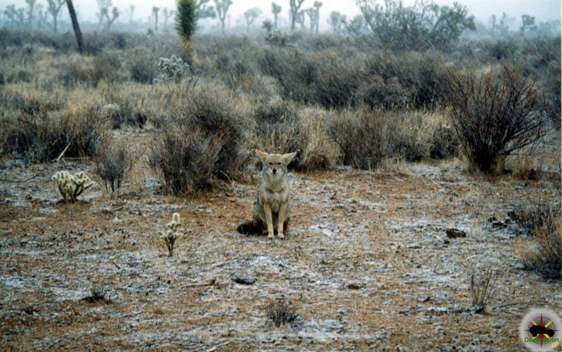 Coyote (Canis latrans) enduring a snow storm in Joshua Tree National Park