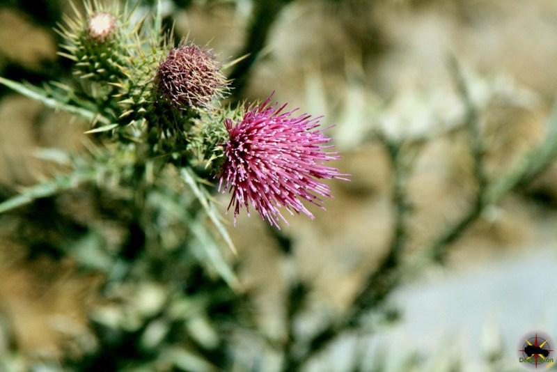 Arizona Thistle (Cirsium arizonicum)