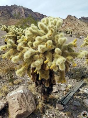 Teddybear Cholla ( Cylindropuntia bigelovii ) photographed near Nelson Nevada