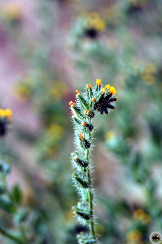 Common Fiddleneck ( Amsinckia intermedia var. intermedia )