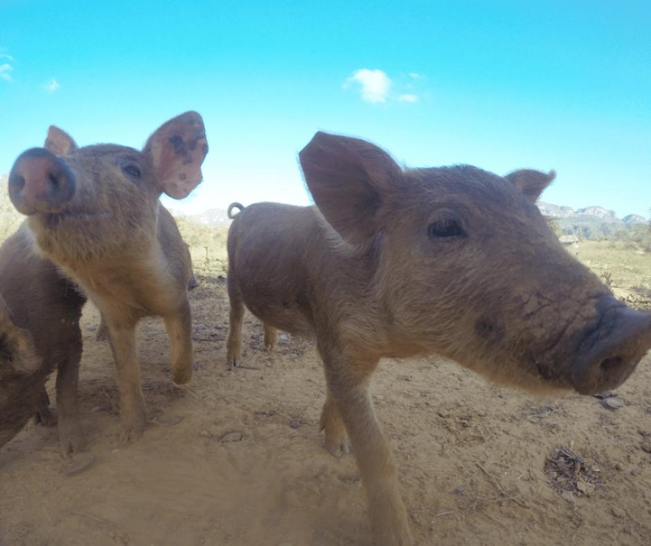 Destination Addict - Cute piglets intrigued by the Go Pro, Viñales National Park, Cuba