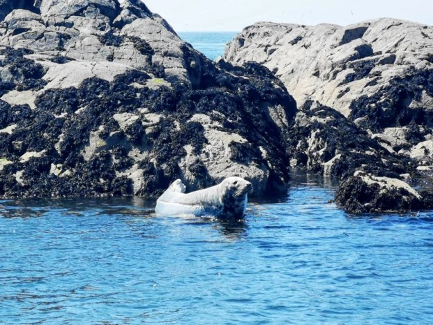 A Seal in Anglesey, Wales Wildlife