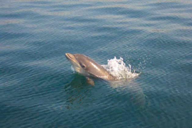 A Dolphin in the water, Wales, UK
