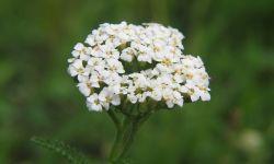 coada- şoricelului Achillea_millefolium_bgiu