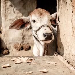 Little cow living next door