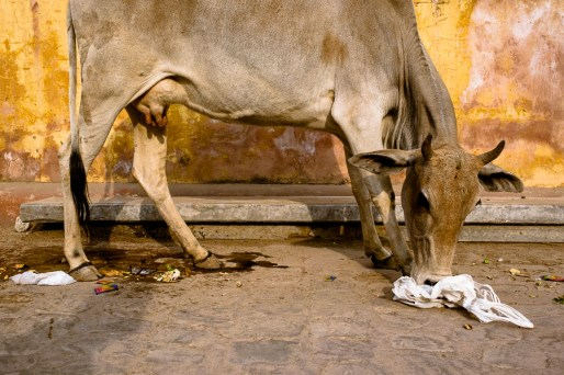 Why cows are sacred in India: they eat all the garbage and plastic thrown at the streets.