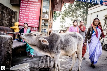 Smart cow drinking clean water