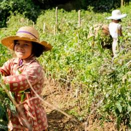 Girls picking tomatoes
