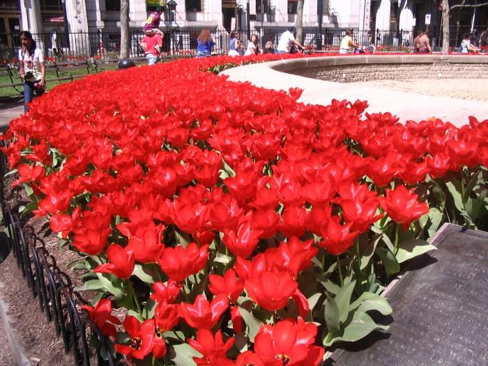 de tulipas