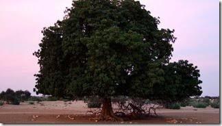 CLIMB YOUR SYCAMORE TREE