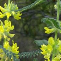 Astragalo, Astragalus membranaceus