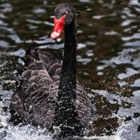 Cisne negro, Susan Anderson