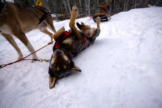 Schlittenhund Kanada 2