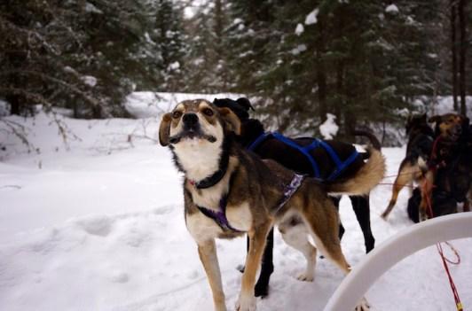 Schlittenhund Kanada