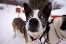 Schlittenhunde Quebec
