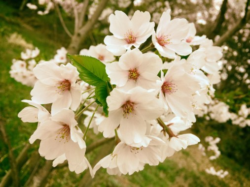 Kirschblüten in Kawaguchiko