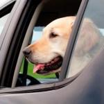 6 consejos para llevar mascotas en el auto