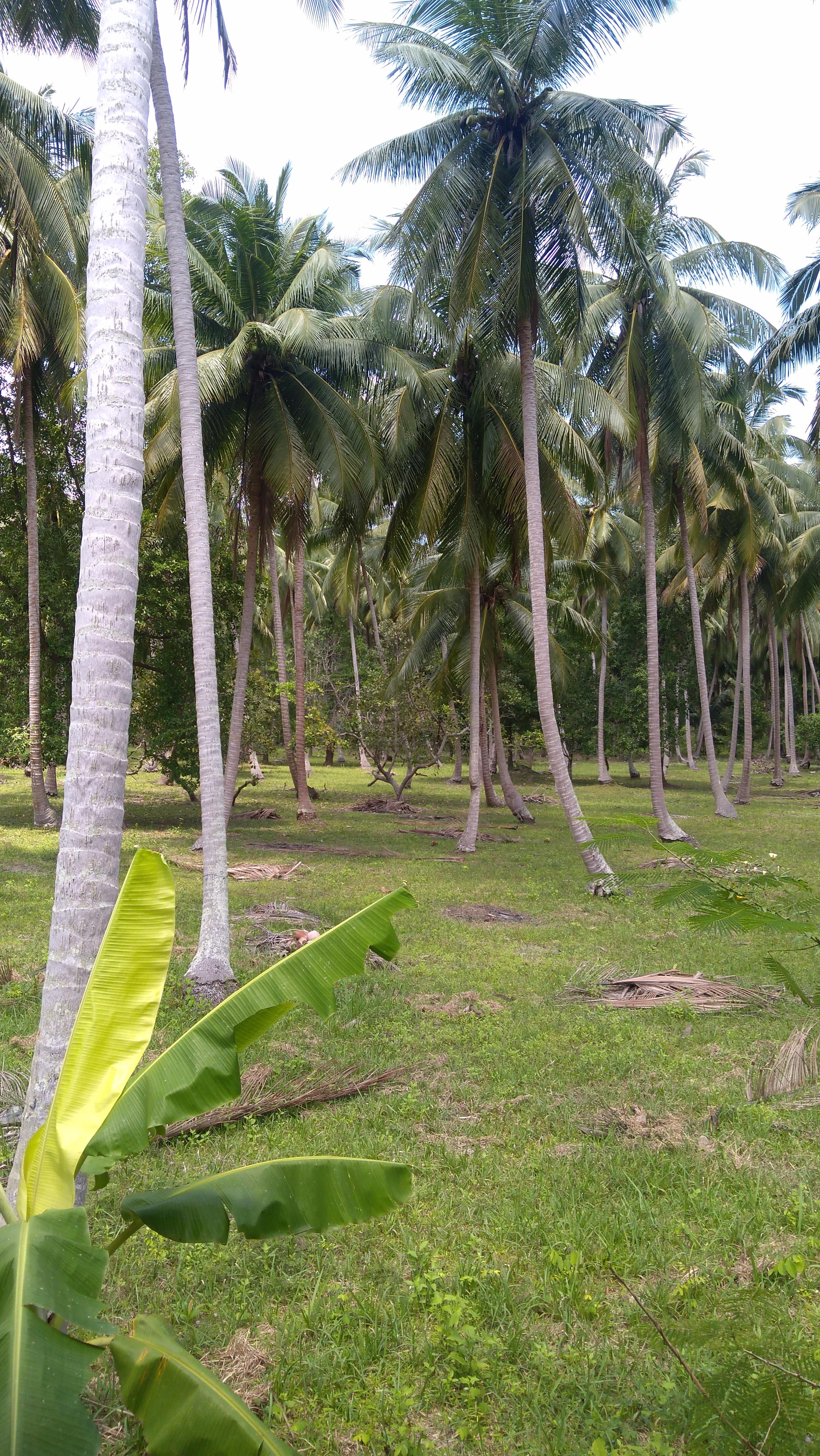 Kokosove palme