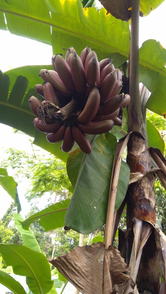 Crvene banane