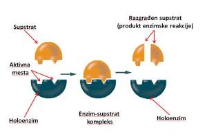 Delovanje enzima