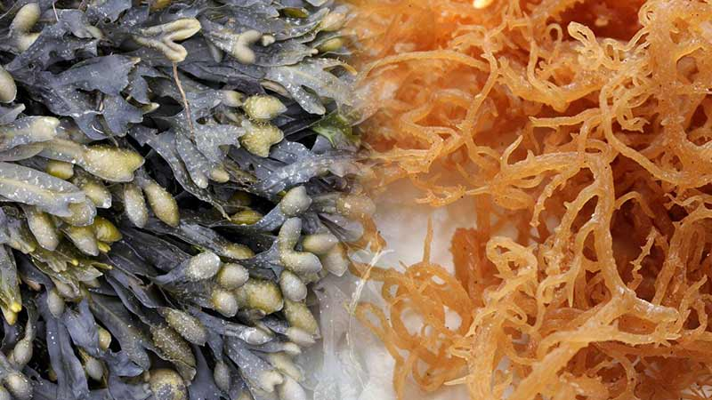 Sea-Moss-and-Bladderwrack-Benefits