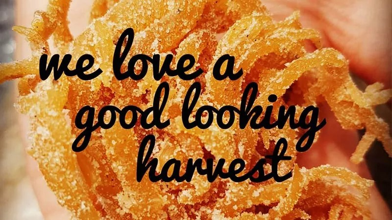 thick and golden sea moss dusted with salt grains that have naturally leached out of the plant being held in an open palm. Caption overlay reads 'we love a good looking harvest'