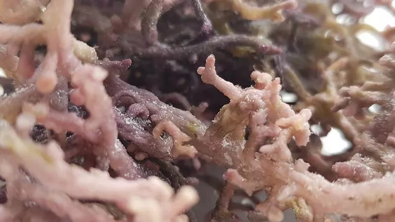 purple sea moss that is of a lower grade which has been eaten by small fish during the earlier stages of growing. This is a closeup of small sea moss thalus, or branches, which have been turned into nobbly ends based on the tender shoots having been eaten by fish