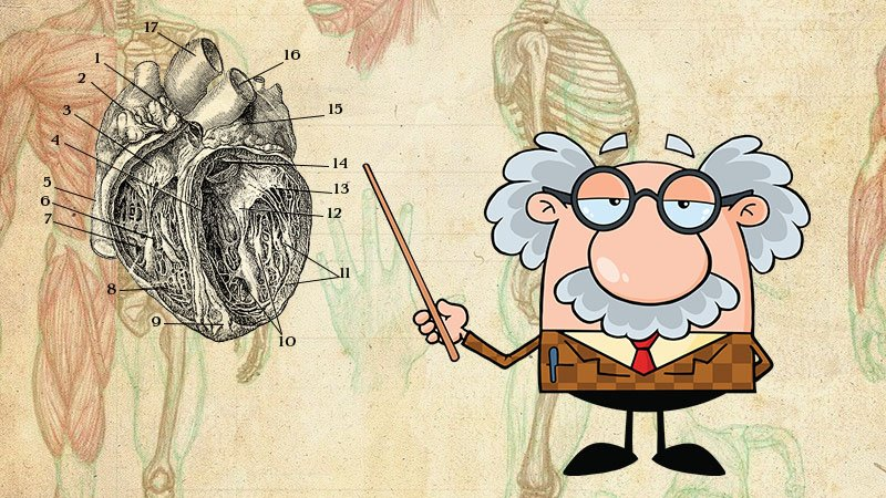 WHAT IS ACTIVE HEART DISEASE - www.detoxandcure.com_ image of a cartoon professor standing in front of an antique diagram of the human heart