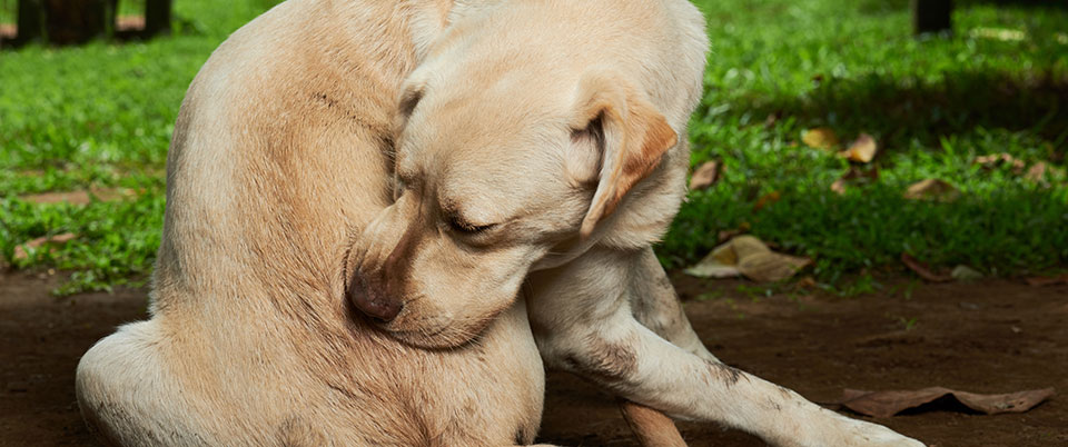 anti itch medicine for dogs