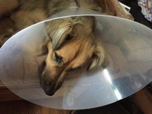 Ash's dog in a cone