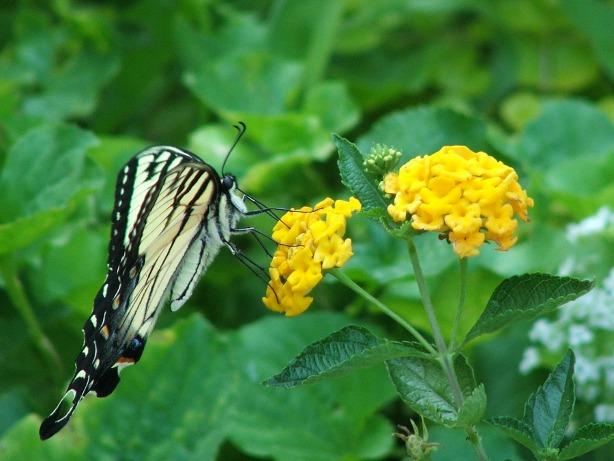 Butterfly in the backyard