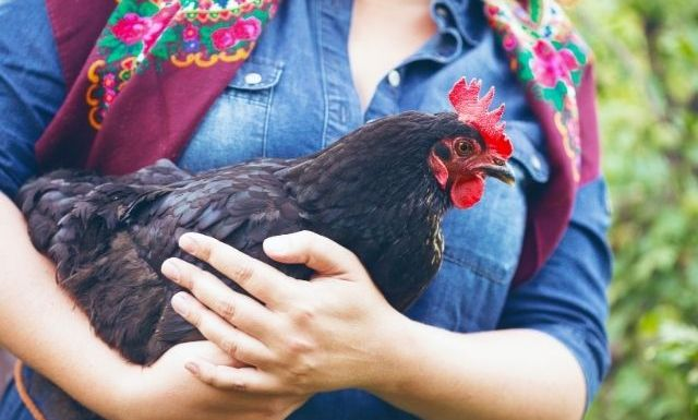 How Your Kids Will Benefit From Raising Chickens