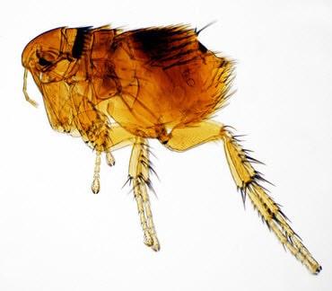 Ein Floh unter dem Mikroskop