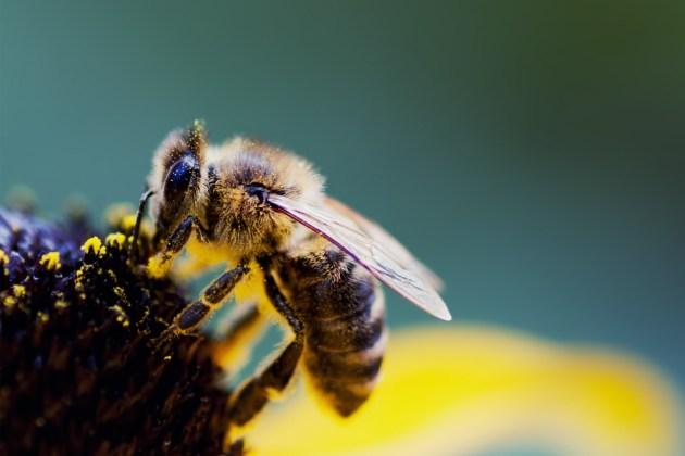 Pesquisadores desenvolvem abelhas robóticas