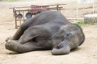 Smartwatch implants help track elephant sleep patterns