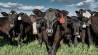 This New Probiotic Makes Cow Burps Less Damaging To The Climate
