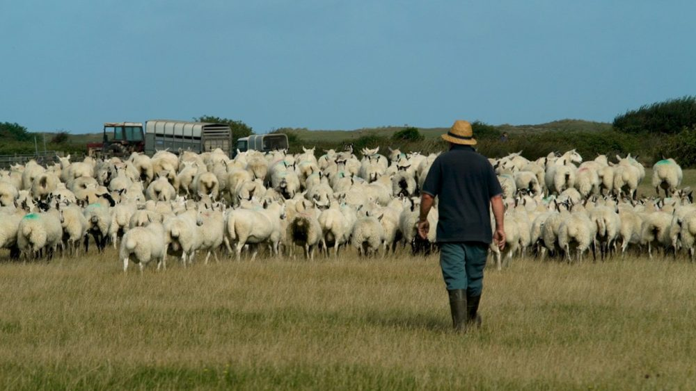 a man is herding sheep over grassland with a blue sky. The image is following him and the sheep