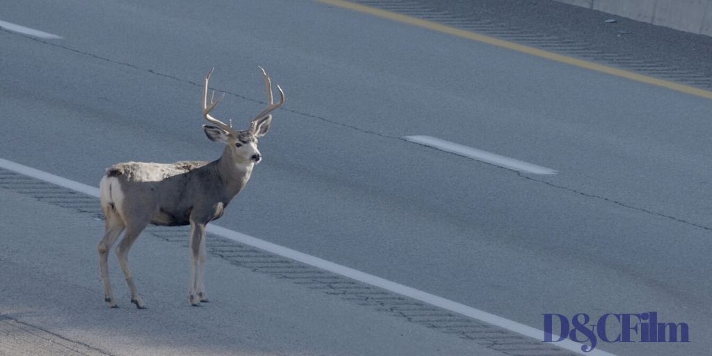 a deer is crossing a road - a still from a film at the Wilderland film fest