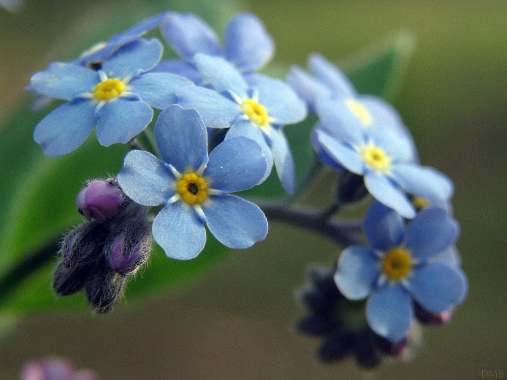 Forget me Not – by Dawnzy58, used via Creative Commons Attribution permissions