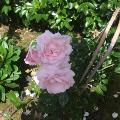 Rosa 'New Dawn', Littlewood, Sussex